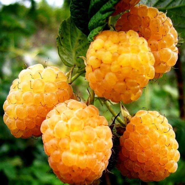 Малина Желтый Гигант описание и характеристика сорта, выращивание и уход, отзывы, фото
