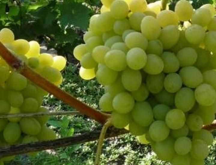 Виноград Августин описание сорта с фото и видео