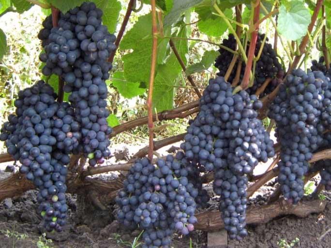 Виноград Памяти Домбковской: описание сорта, фото и отзывы