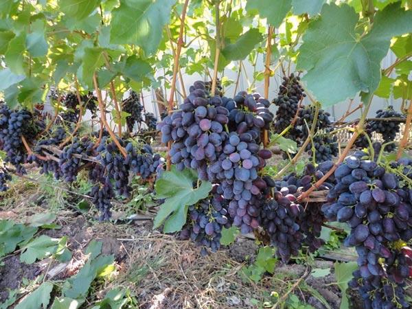Виноград Кодрянка описание и характеристика сорта, выращивание и уход, отзывы, фото