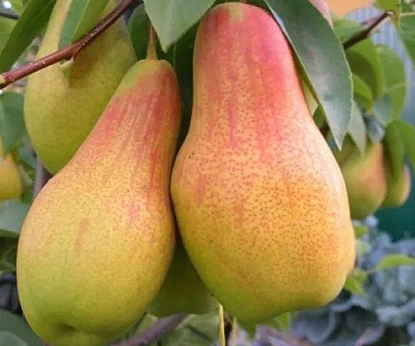Груша Лесная красавица: описание и характеристика сорта